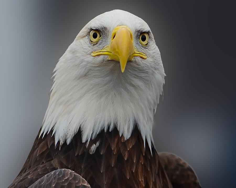 Bald eagle head front - photo#5