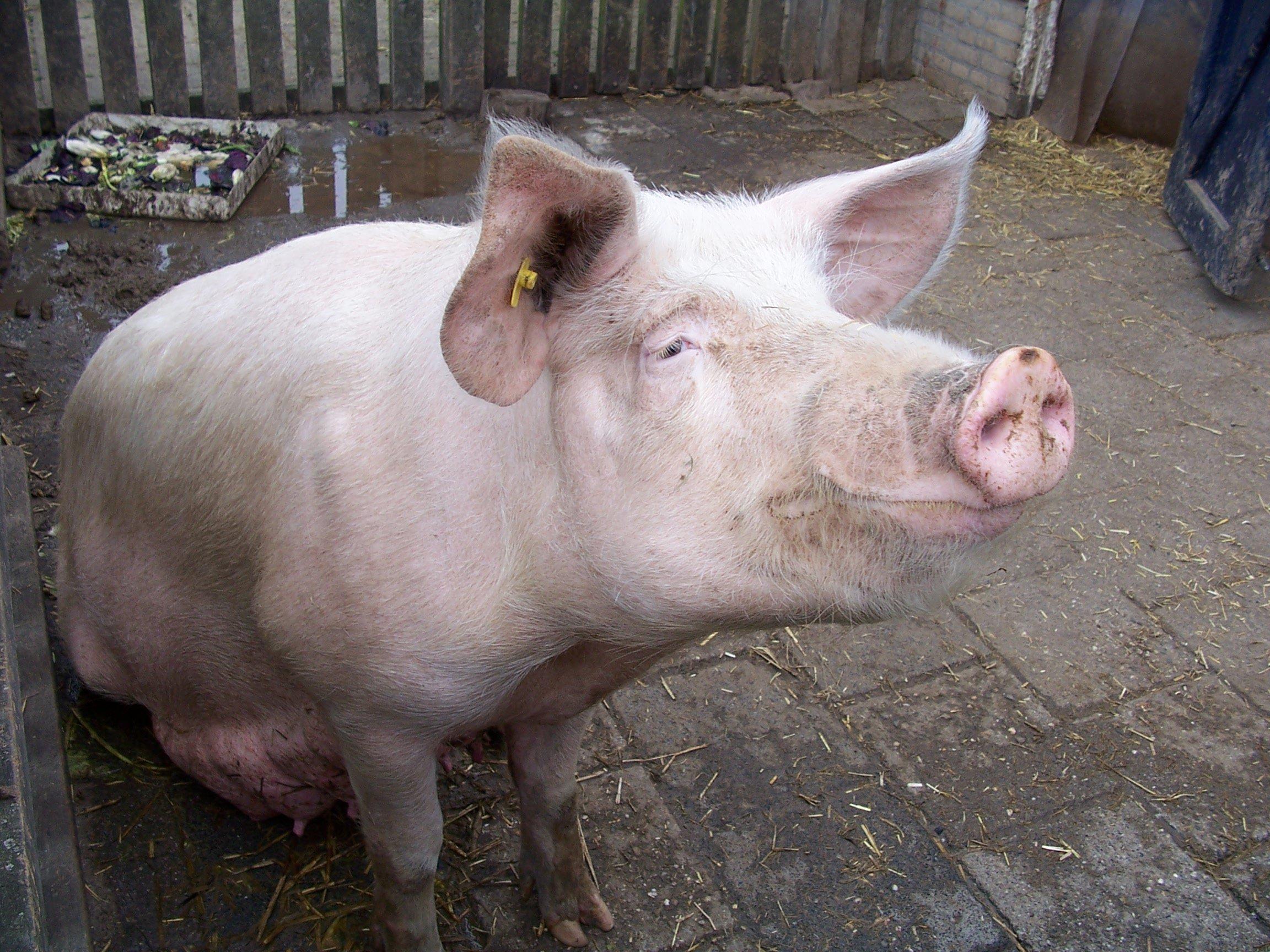Секс с свиня 17 фотография