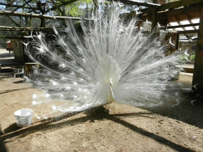 albino peacock. .. it looks like magic. eogjoieg