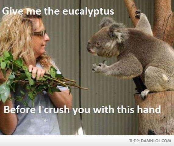 Angry Koala is Angry. A hungry koala is an angry Koala.