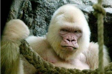 Animal complaint. I am angry now! . ape orangutan