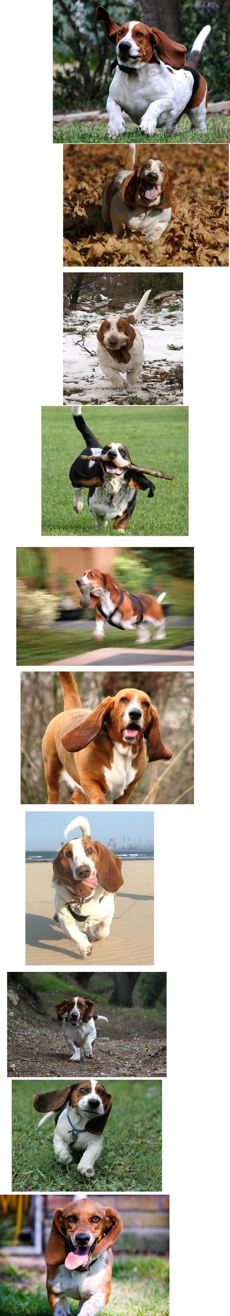 Basset hound comp.. .. I have one!