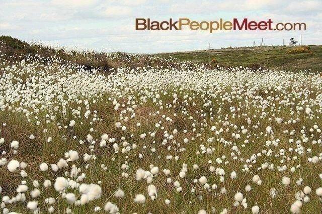 black people meet. cottonfield black people.