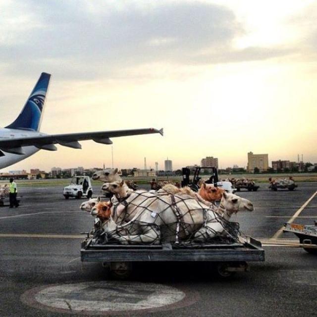 camel transport. .