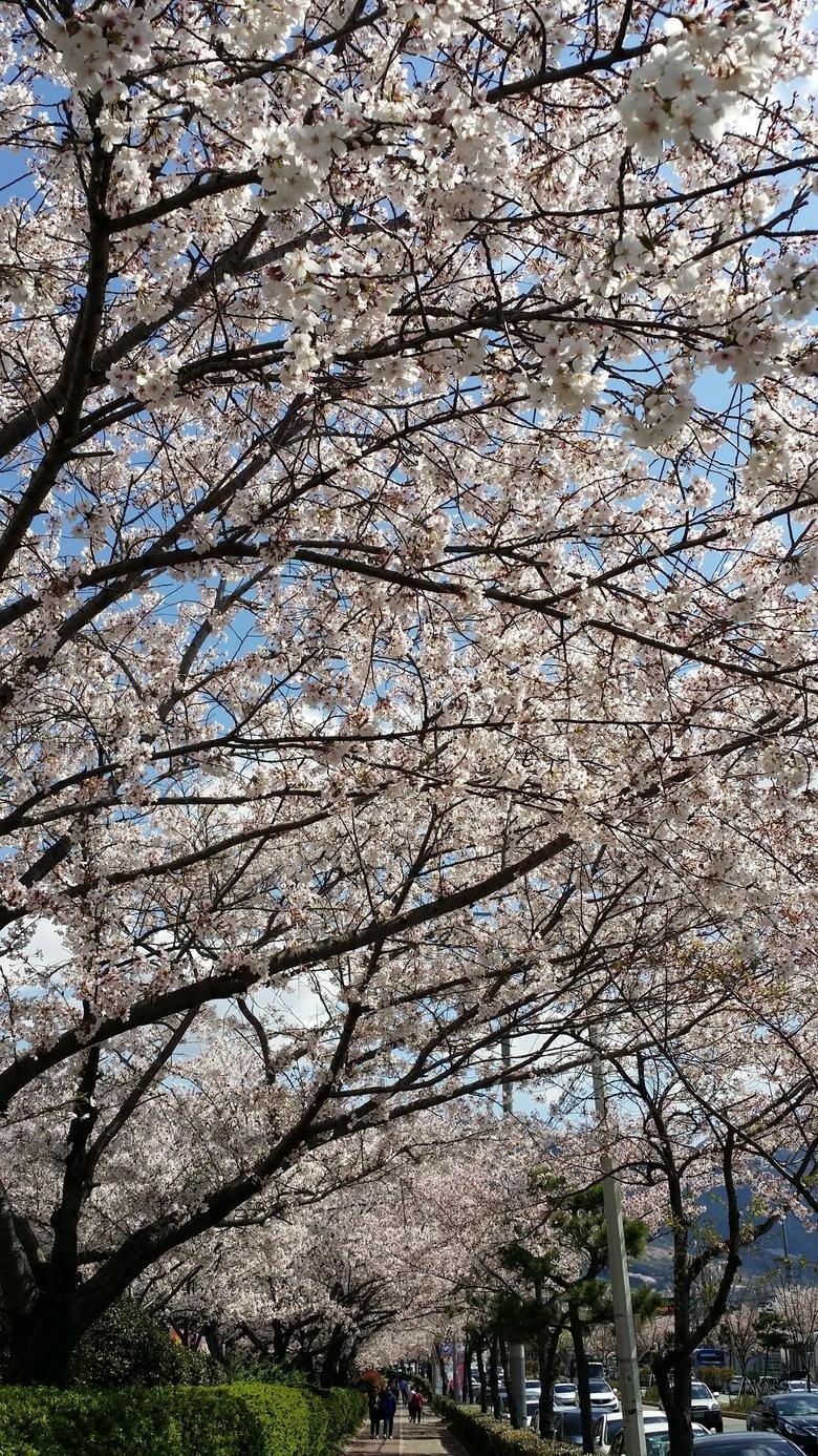 Cherry Blossom Festival. Cherry Blossom Festival. cherry Blossom festival