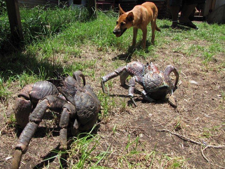 Coconut Crabs. .