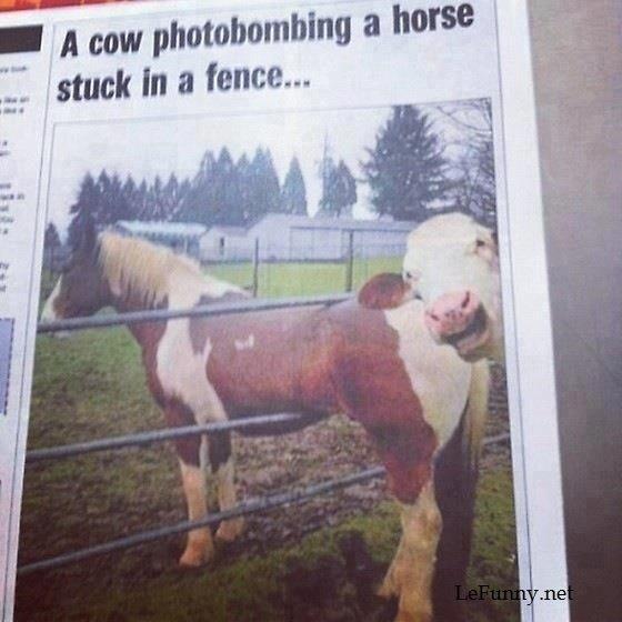 Cow photobombing. lefunny.net.