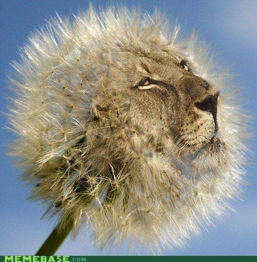 Dande-lion. lion.. OH AHAHAHHAHAHAHHA SO FAHNY JOKE