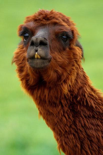 Derp Llama. The most derpy llama..