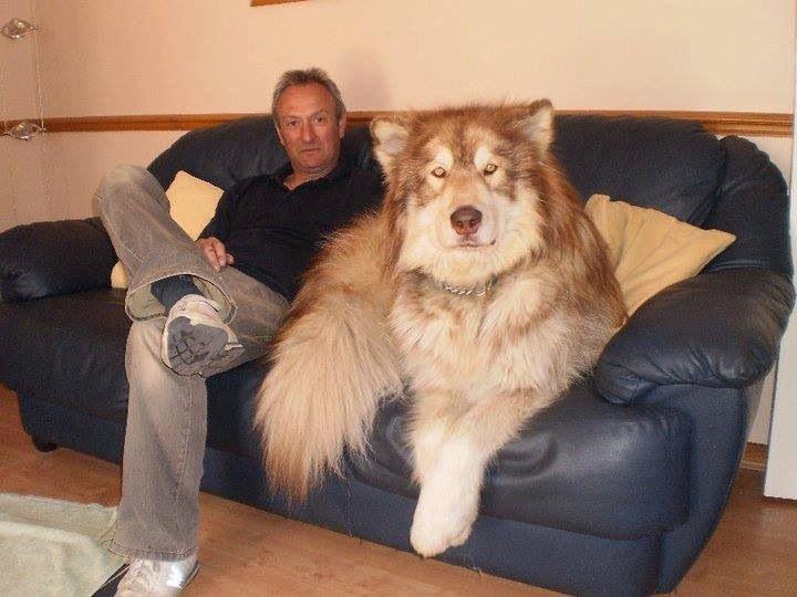 Dansky The Mix: Great Dane and a Husky Masty The Mix: Tibetan Mastiff ...