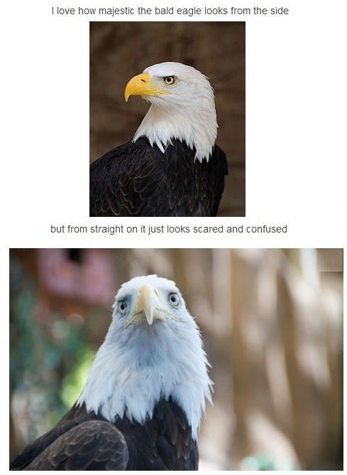 "Eagles. . I love how the bald eagle ti% agil '"" d, side E: tuturu:: straight on itjust lama ific. "" and "". This one looks pretty bad ass"