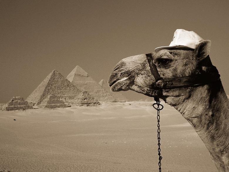 Egypt Tours. Camel in Giza Plateau, Egypt @ . Egypt tours egypt trips Egypt excursions tours in egypt trips in egypt excursions in eg
