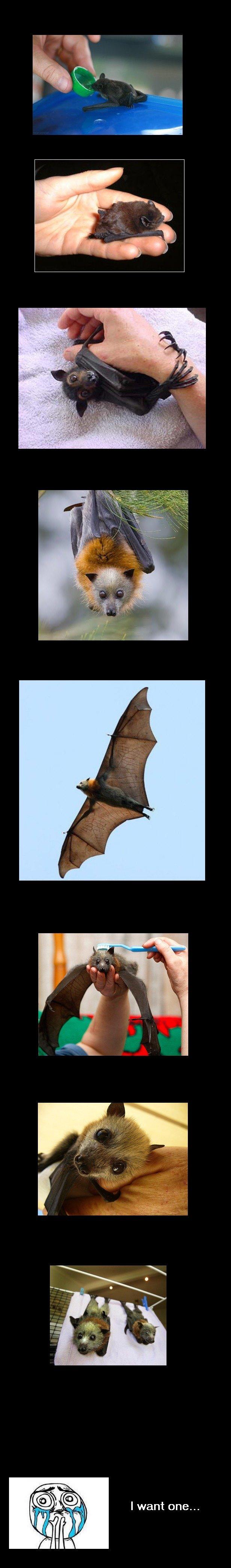 Flying fox (species of fruit bat). . I want one.... brushie brushie