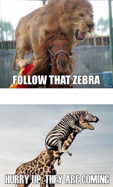 follow that zebra. .