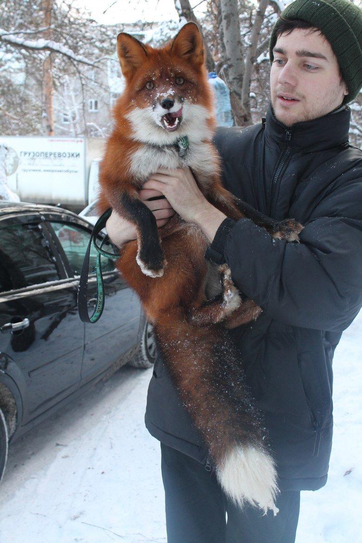 Foxy pet. meanwhile in Russia.. I WANT ONEEEEEEEEEEEE