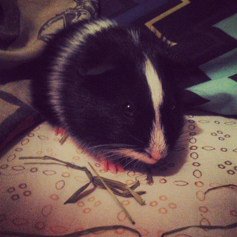 guinea pig. Got a new guinea pig named him Nosferatu I find him cute as so thats why I share it to you ..