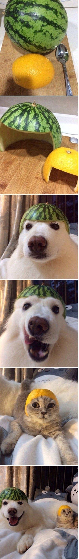 hahahahahaha. . Dog cat watermelon grapfruit funny hats