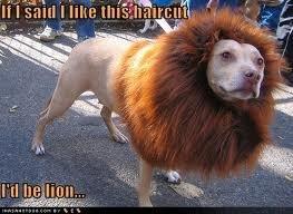 haircut. nice haircut.... Dogs Lion Dog Hair haircut