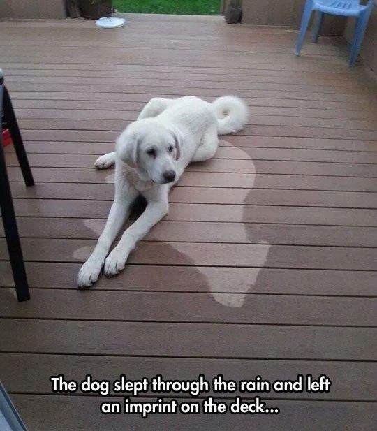 Heavy sleeper. . The dog slept through the rain and left an imprint an the deck,. When there's thunder.