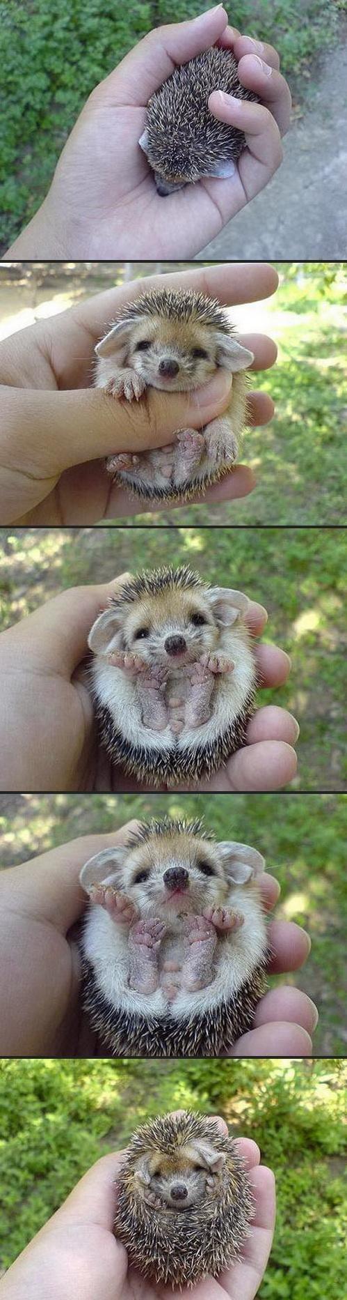 Hedgy the hog. Soooooooo adorable.. Funny how Sonic doesn't even look like a hedgehog.. O_o
