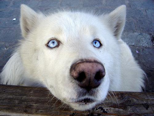 husky wolf dog. . adorable white husky