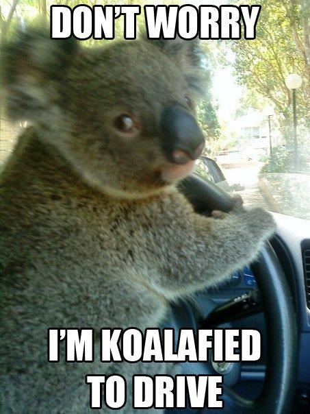 Koalafications. Source: Imgur. TO DRIVE. bet ya he stole that car GTA style... LIKE A GRANDTHEFTKOALA!