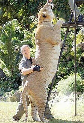 Liger. Big ass cat.. liger