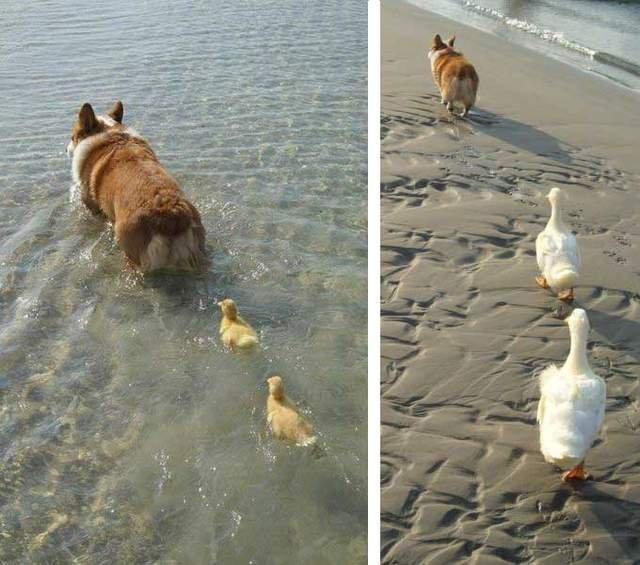 Like a mom. .. CORGIES!!!!!!!!!!!!!!!!!!!!!