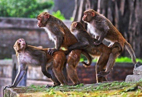 Monkey Gangbang