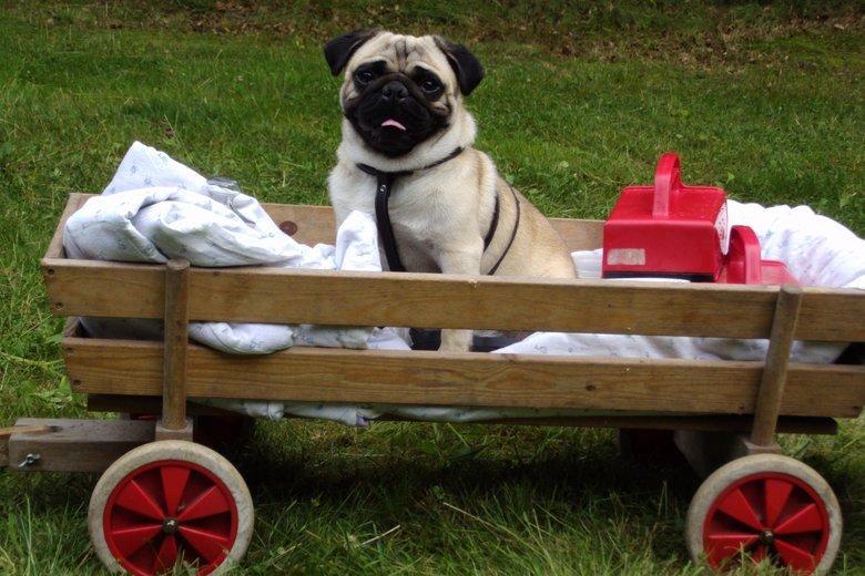 My dog Folmer enjoys a ride in the wagon. .
