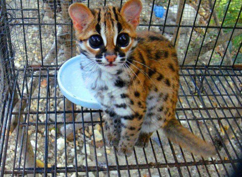 Ocelot. Just look how cute Source: Imgur.
