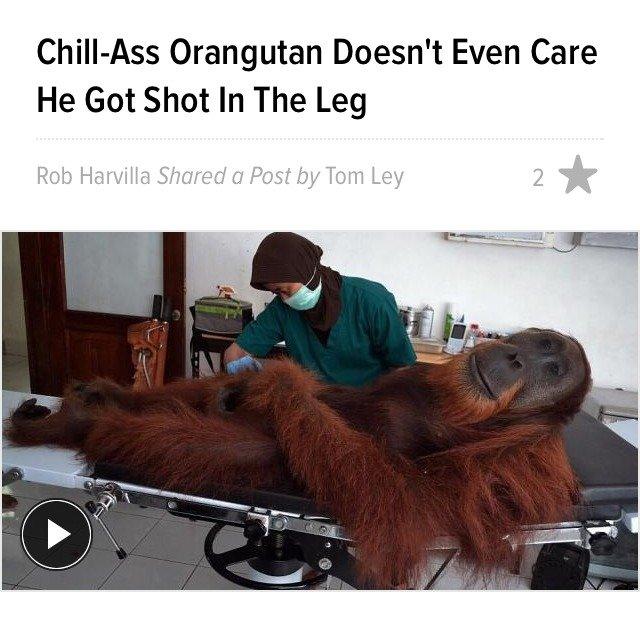 Orangutan. Self-explanatory really. Orangutan Doesn' t Even Care He Got Shot In The Leg
