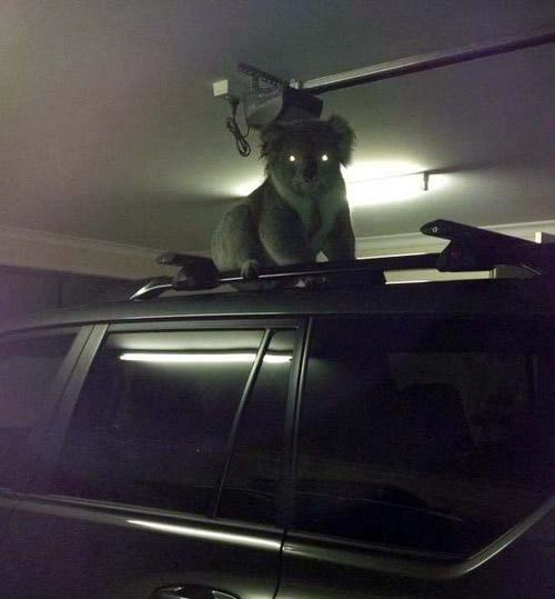 Paranormal Koalactivity. .