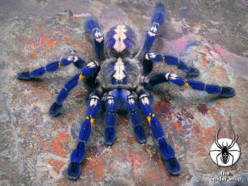 Poecilotheria metallica tarantula. Big fan of tarantula's, I think she looks awesome.. ...Now go find me Megadeth one