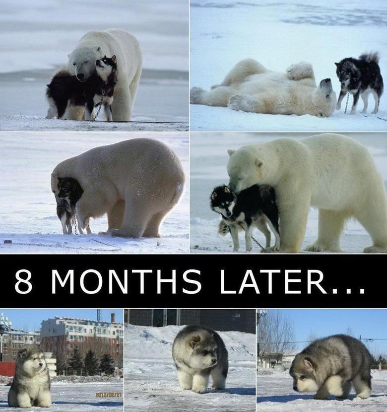 polar bear + wolves = dafaq. .. Anyone?