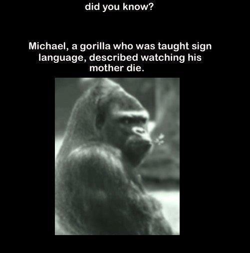 The Gorilla Michael - Sign Language