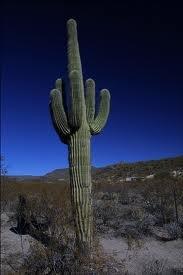 Saguaro. this is a saguaro cactus.. I'm so goddamn hard right now. saguaro Cactus