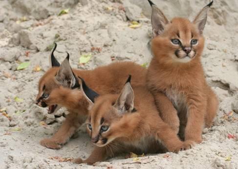 Sand kitties. .. They look like Kajit babies! sand cats