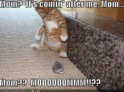 scardie cat. .