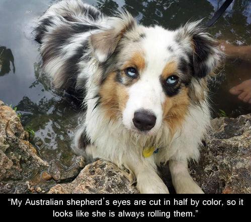 """Sexy. . My Australian shepherd' s eyes are Cut in half by color, so it leaks like she is always rolling them."""""""
