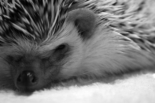 Sleepy?. Want to cuddle up and drift off to sleep?. sleepy hedgie Nuzzle