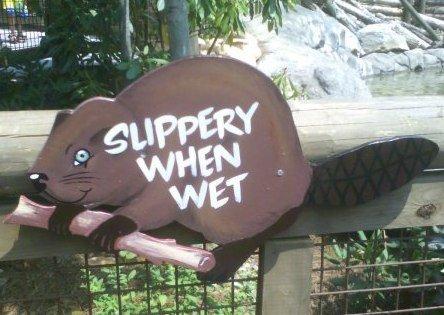 Slippery Beaver. is wet. slippery when wet