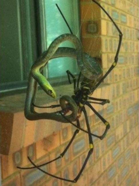 Spider+Killing+A+Snake.+I+hate+Australia