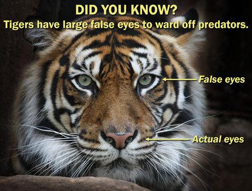 Tiger Eyes. Source: Imgur. DID YALI_ KNOW? Tigers have lat eyesight predators che t line! eyes