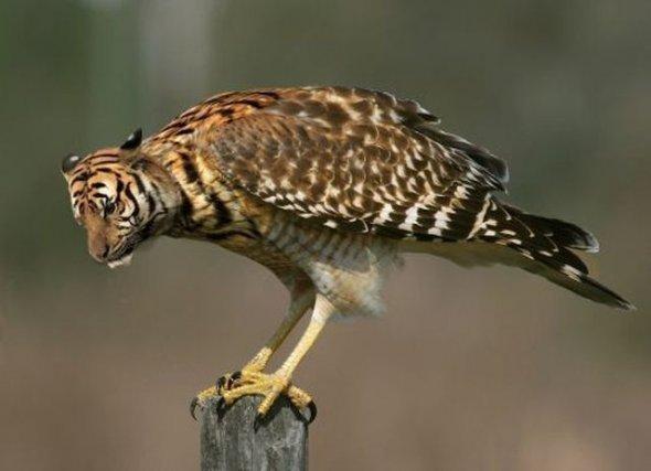 tigerhawk. .