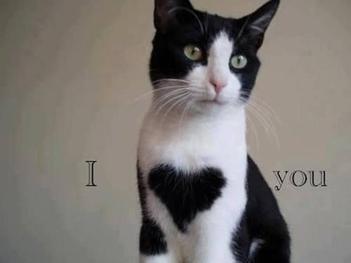 tuxedo cat. .