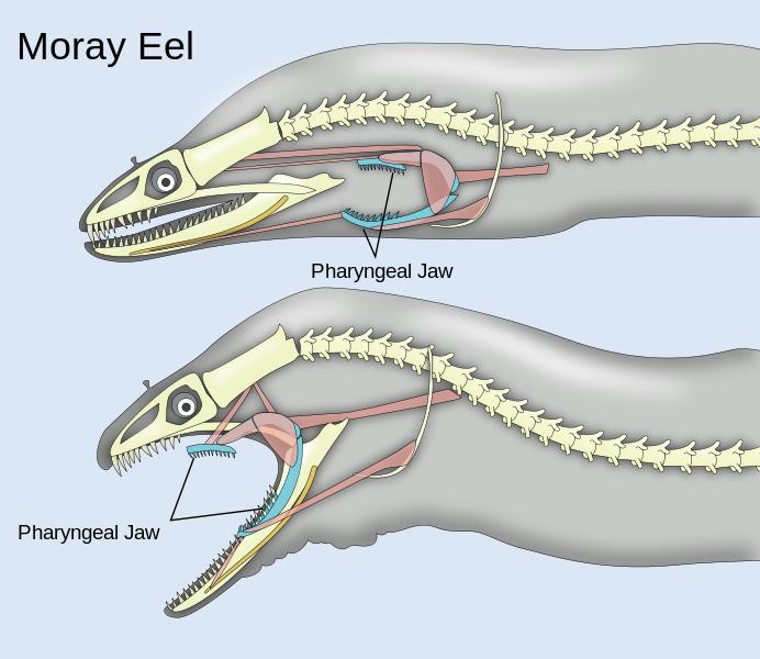 Xenomorph. they exist. Moray Eel Pharyngeal Jaw