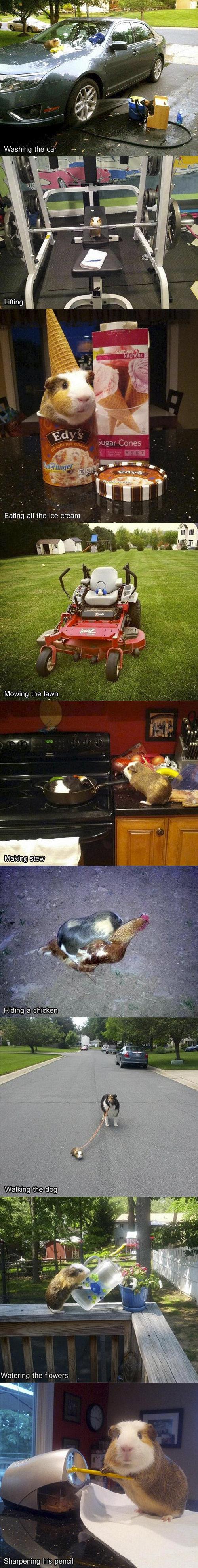 "Guinea Pig. . Washing the ca; - 3 Lifting Ricking, iife. rii. aii"" ii' i. if if If'. Inn. at Sharpening his. pencil"