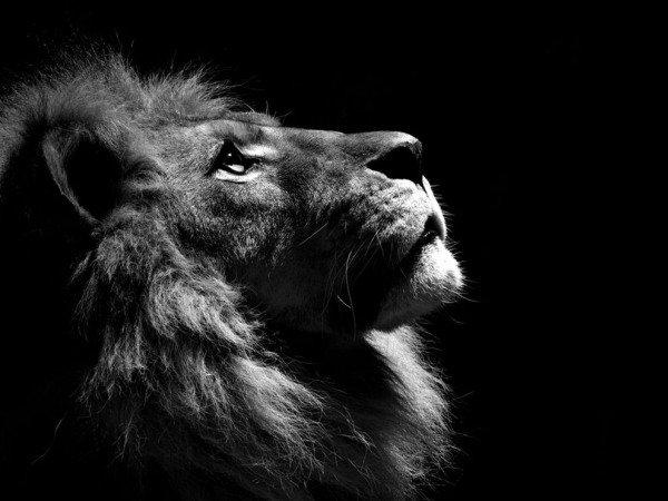 just a lion.. .