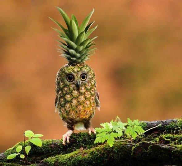pineapple owl. .